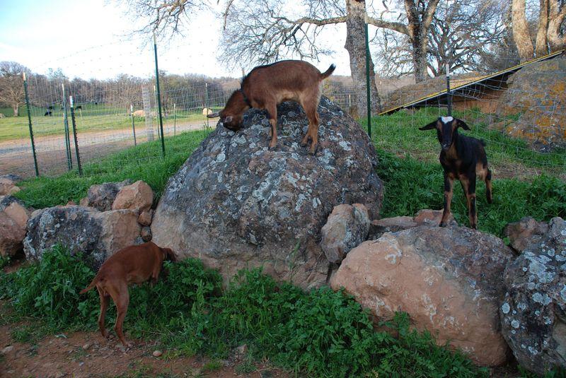 Goats&Parker3-10