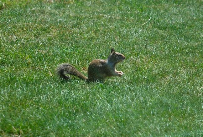 SquirrelwWhiteCollar