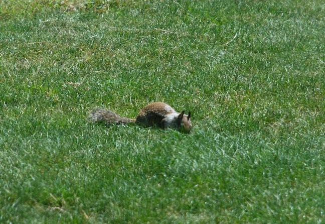 SquirrelwWhiteCollar1