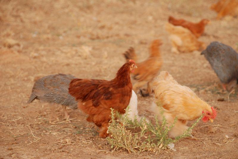 ChickPic