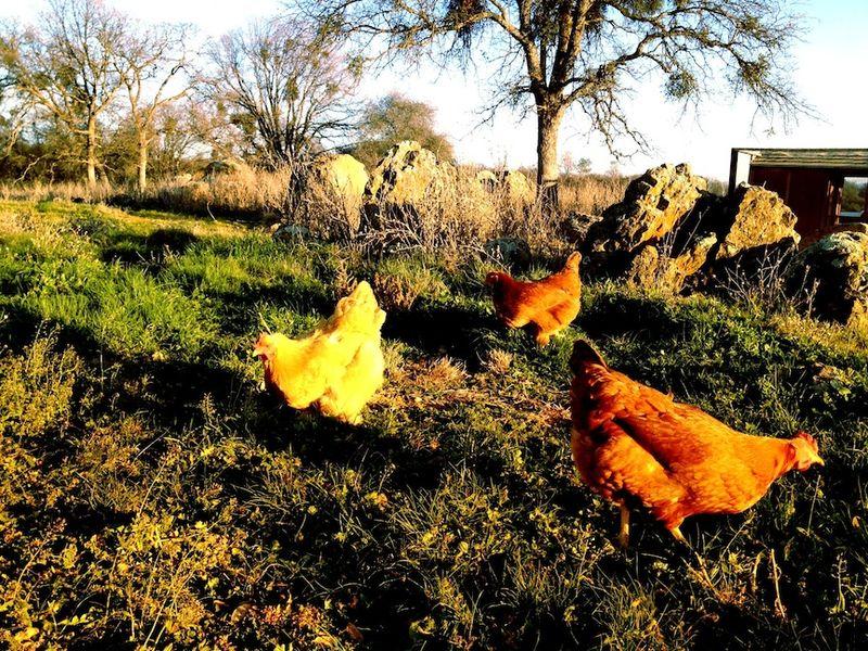 Chickens1-12
