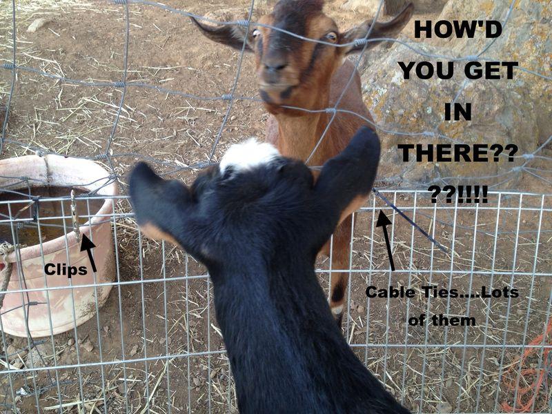 Goats&FencingDooDoo