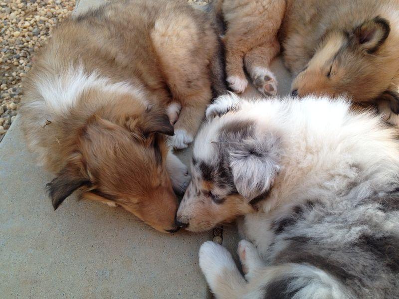 PuppiesSleeping6WksB