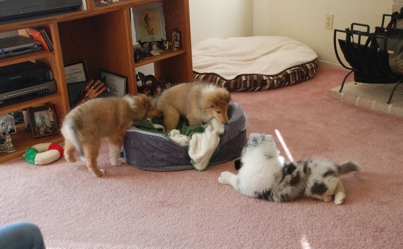 Puppies9WksPlaying